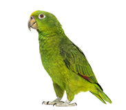 Panama Yellow-headed Amazon (5 months old) Royalty Free Stock Image