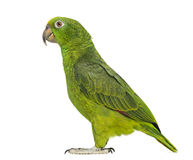 Panama Yellow-headed Amazon (5 months old). Isolated on white royalty free stock photo
