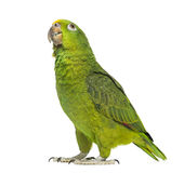 Panama Yellow-headed Amazon (5 months old). Isolated on white stock photo