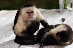 Panamaischer weiß-gesichtiger Capuchin cebus Nachahmer lizenzfreie stockfotografie
