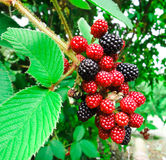 Panamanian blackberry. In the forest Stock Image