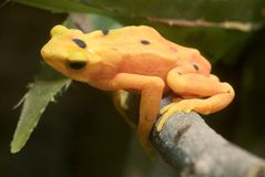 Panamanian Golden Frog - Atelopus zeteki Stock Photos