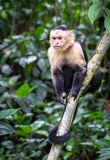 Panamanian white-faced capuchin Cebus imitator. In Cahuita National Park, Costa Rica royalty free stock images