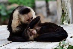 Panamanian white-faced capuchin cebus imitator. Portrait of two Panamanian white faced capuchin cebus imitator monkeys in a zoo royalty free stock photos