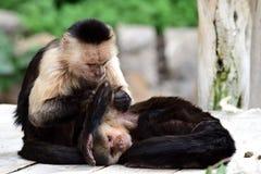 Panamanian white-faced capuchin cebus imitator. Portrait of two Panamanian white faced capuchin cebus imitator monkeys in a zoo royalty free stock images