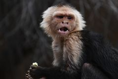 Panamanian White-faced Capuchin royalty free stock image