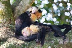 Panamansk vit h?vdad familj f?r CapuchinapaCebus imitat?r som vilar p? tr?d i Costa Rica Manuel Antonio National Park royaltyfria bilder