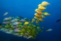 Panamic porkfish (Anisostremus taeniatus) Royalty Free Stock Photography