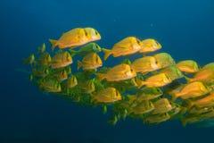 Panamic porkfish (Anisostremus taeniatus) Royalty Free Stock Photos