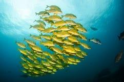 Panamic porkfish Stock Image