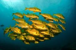 Panamic porkfish Stock Images