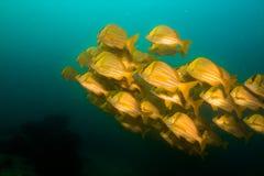 Panamic porkfish (den Anisostremus taeniatusen) Royaltyfri Fotografi