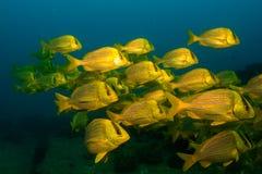 Panamic porkfish (den Anisostremus taeniatusen) Royaltyfri Bild