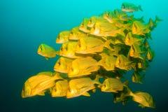 Panamic porkfish (den Anisostremus taeniatusen) Royaltyfria Bilder