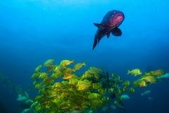 Panamic porkfish (den Anisostremus taeniatusen) Arkivfoto