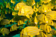 Panamic porkfish (den Anisostremus taeniatusen) Arkivfoton