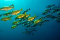 Panamic porkfish (den Anisostremus taeniatusen) Royaltyfria Foton