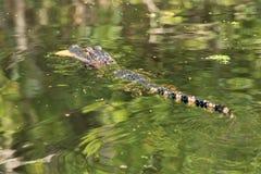 Panamski miasto plaży zatoki meksykańskiej aligator blisko zmierzchów malowniczych rogaczy zdjęcie stock