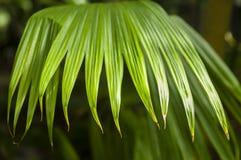 Panamskiego kapeluszu palma zdjęcie stock