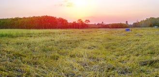 Panarama поля риса с восходом солнца или заходом солнца Стоковое Изображение RF