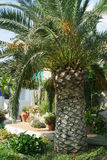 Panarea Palmtree Fotografia de Stock Royalty Free