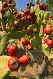 Panarea Prickly Pears. Prickly pears on the remote Italian island of Panarea royalty free stock photography