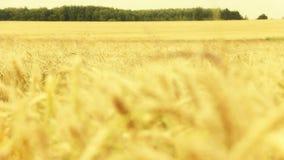 Panaromnaya a tiré d'un champ de blé clips vidéos