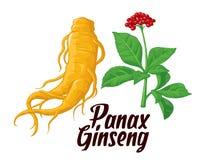 Panax ginseng delle foglie e della radice Illustrazione piana variopinta di vettore delle piante medicinali Gli additivi biologic Fotografia Stock