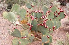 Pancake prickly pear cactus Stock Photos