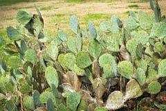 Pancake Prickly Pear Cactus Opuntia chlorotica. Pancake Prickly Pear Cactus in wild Opuntia chlorotica Royalty Free Stock Photo