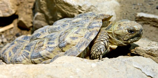 Pancake tortoise 1 Royalty Free Stock Photo