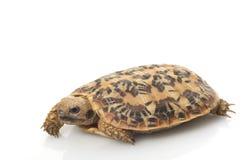 Pancake Tortoise Royalty Free Stock Image