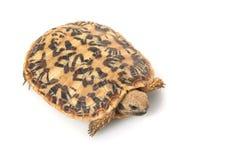 Pancake Tortoise. (Malacochersus tornieri) isolated on white background Royalty Free Stock Photo