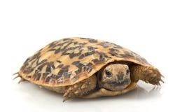 Pancake Tortoise Stock Image
