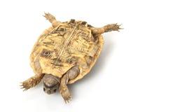Pancake Tortoise Stock Images