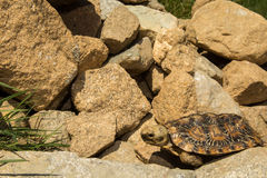 Pancake Tortoise. A close up of a young Pancake Tortoise Stock Photo