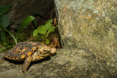 Pancake Tortoise. A close up of a young Pancake Tortoise Royalty Free Stock Photo