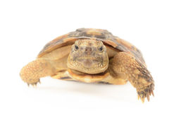 Pancake Tortoise Royalty Free Stock Photography