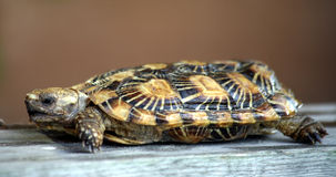 Pancake tortoise Stock Photos