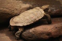 Pancake tortoise (Malacochersus tornieri). Stock Image