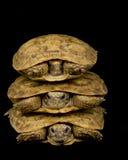 Pancake Tortoises Royalty Free Stock Photography