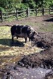 Pancetta affumicata del maiale Immagine Stock