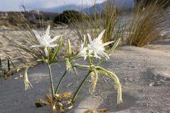 Pancratium maritimum, Hymenocallis, denny daffodil biel kwitnie zdjęcie stock