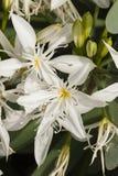 Pancratium white flowers Royalty Free Stock Images