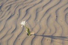 Pancratiummaritimum - Overzeese gele narcis Royalty-vrije Stock Foto's