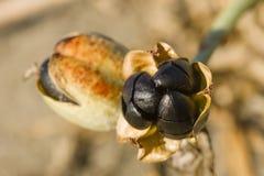 Pancratiummaritimum, overzeese gele narcis zwarte zaden en peulen Stock Foto's