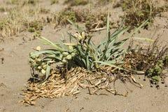 Pancratiummaritimum, overzeese gele narcis zwarte zaden en peulen Stock Afbeeldingen
