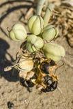 Pancratiummaritimum, overzeese gele narcis zwarte zaden en peulen Stock Foto