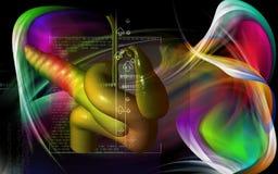 Pancreas Royalty Free Stock Image