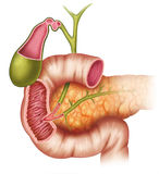 The pancreas Royalty Free Stock Images